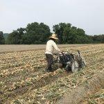玉ねぎを農機具で収穫する様子
