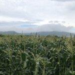 雨のとうもろこし畑