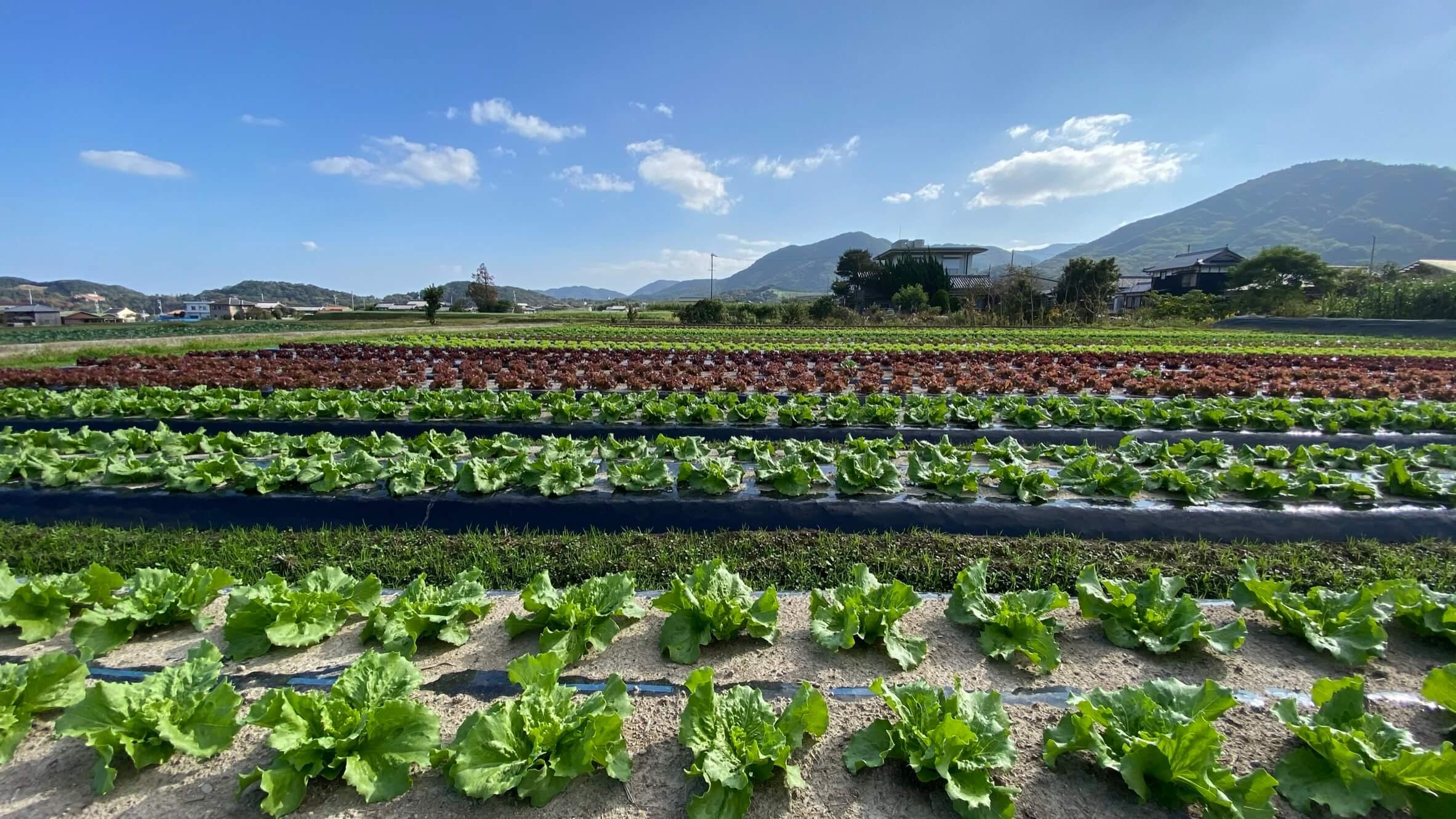 宮崎ファームのレタス畑