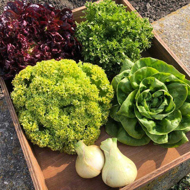 淡路島産 野菜詰め合せ(レタス4種+新玉ねぎ2個)